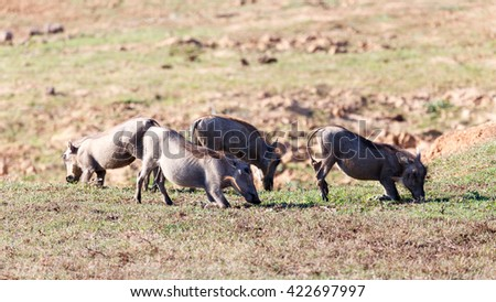 Group of Warthogs -Phacochoerus africanus - The common warthog is a wild member of the pig family found in grassland, savanna, and woodland in sub-Saharan Africa. - stock photo