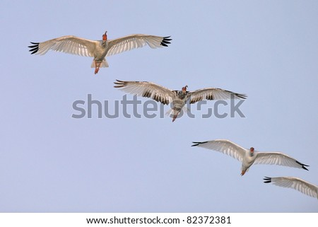 group of white ibis birds flying over florida wetland at dawn - stock photo