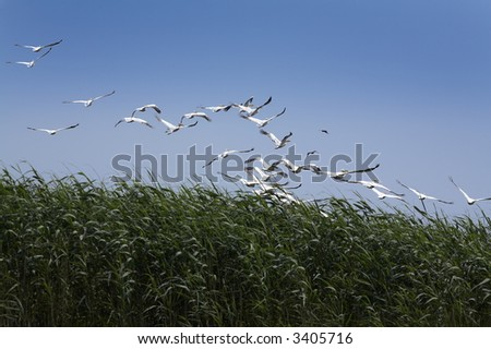 group of white pelicans (pelecanus onocrotalus) flying over the lake - stock photo