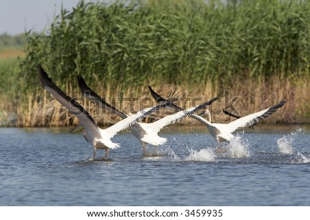 group of white pelicans/ pelecanus onocrotalus flying over the lake - stock photo