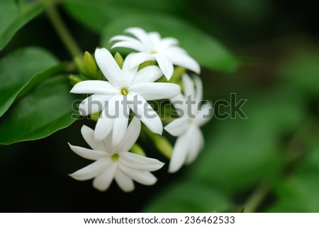 Group of white Sampaguita Jasmine or Arabian Jasmine  - stock photo