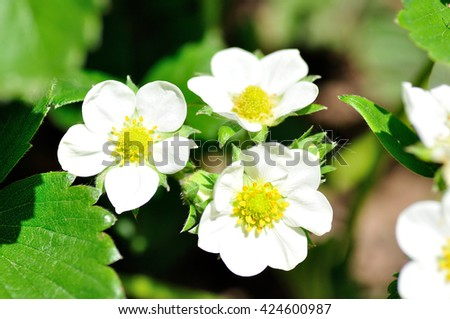 Group of white strawberry flowers. - stock photo