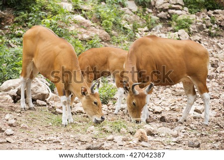 Group of Wild Cattle eating the grass on the hill  - stock photo