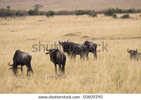 Group of wildebeest grazing in the grasslands of Africa. - stock photo