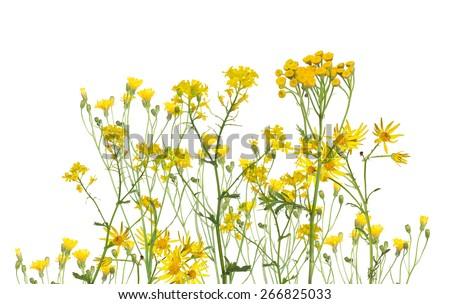 group of yellow flowers isolated on white background - stock photo