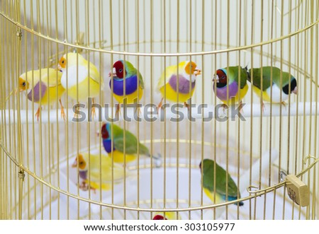 group of Zebra finches sitting on a perch in a cage. - stock photo