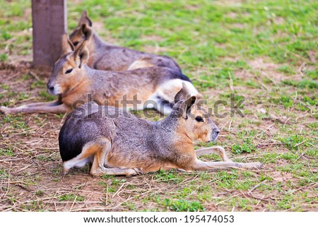 Group Patagonian Mara lying on the grass - stock photo