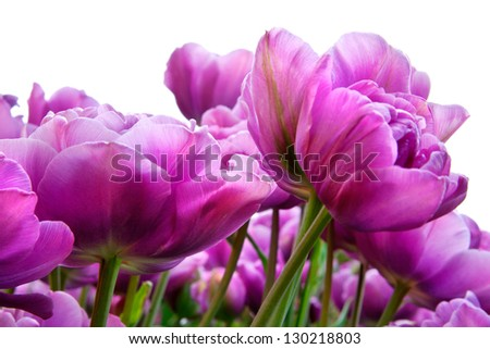 Group purple tulips on a white background. Spring landscape. - stock photo