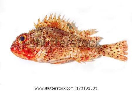 Grouper fish isolated on white background - stock photo