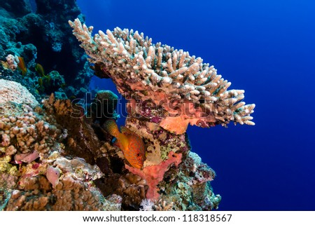 Grouper underneath a hard coral and a tropical coral reef wall - stock photo