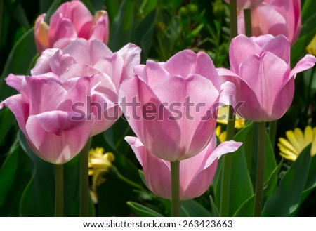 Grouping of Pink Tulips in seasonal bloom. - stock photo