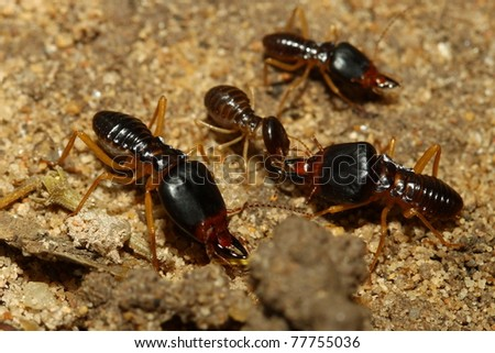 groups of termites transporting food - stock photo