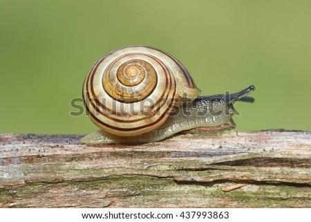 Grove also known as Brown-lipped Snail (Cepaea nemoralis) on a log - stock photo