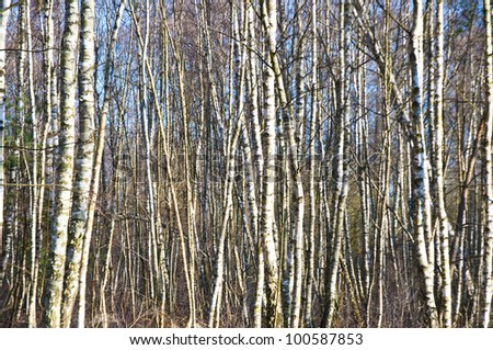 Grove of birch trees on the blue sky - stock photo