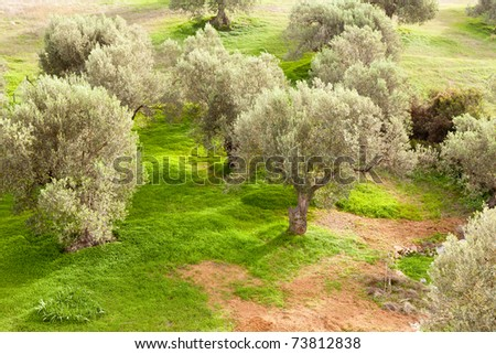 Grove of olive trees (Olea europaea) with dense cover of sweet clover (Melilotus) on the ground. - stock photo