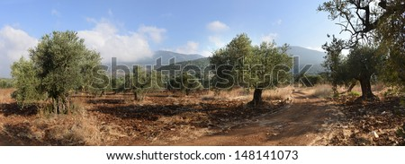 Grove of the ancient olive trees in Galilee Mount Meron  Israel  - stock photo