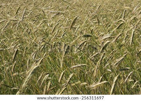 Growing barley in a sunny day. - stock photo