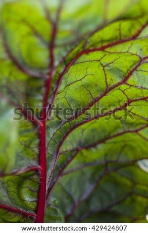 growing beetroot (green and red) on the vegetable bed close up in summer with patterns visible in close up - stock photo