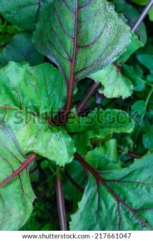 growing beetroots  - stock photo