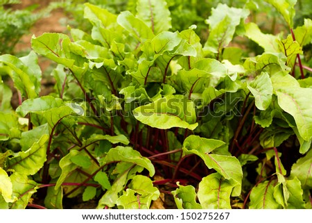 Growing beets in organic vegetable garden. - stock photo