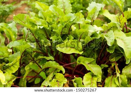 Growing beets in organic vegetable garden. - stock photo
