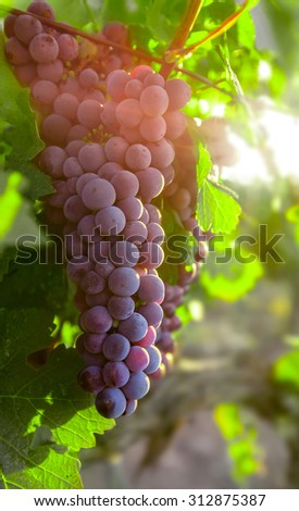 Growing cluster blue grapes in leaves - stock photo