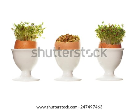 growing cress in eggshell on white background - stock photo