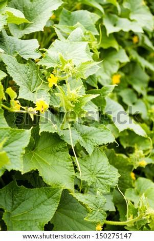 Growing cucumbers in organic vegetable garden. - stock photo