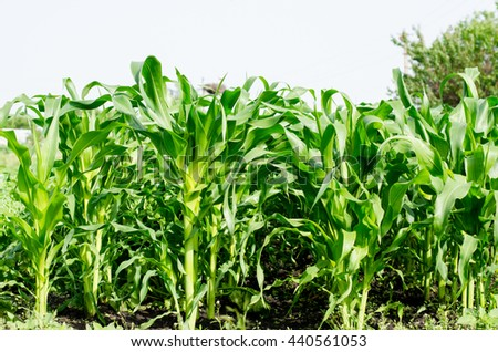 Growing juicy and useful in a field of corn - stock photo