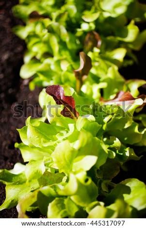 Growing lettuce in home garden - stock photo