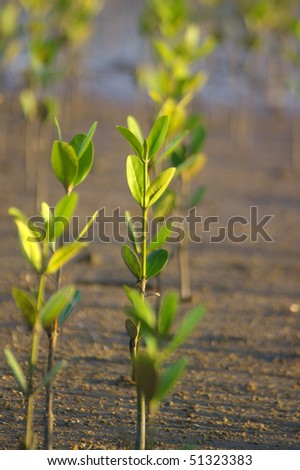 Growing mangroves - stock photo