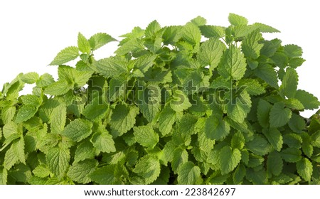 Growing mint leaves isolated on white - stock photo