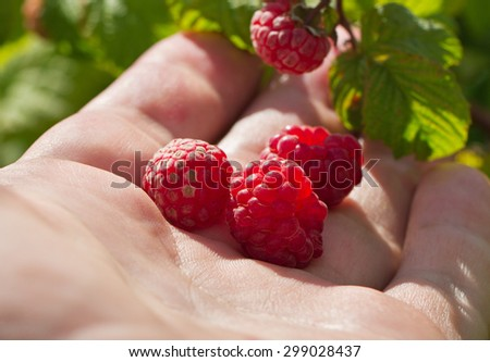 Growing natural bush of raspberry. - stock photo