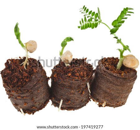 Growing peas seedlings in peat  tablet pot isolated on white background - stock photo