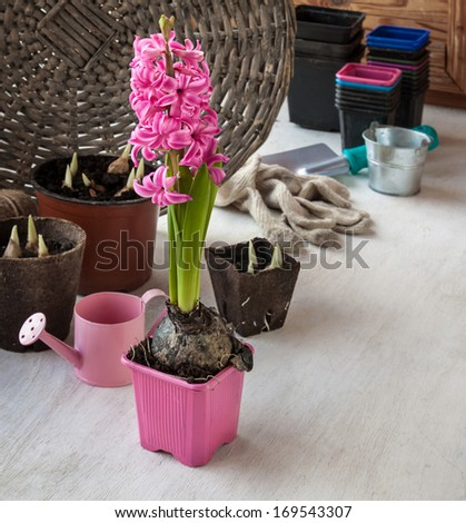 Growing pink  hyacinth on gift for mother and flower seedlings in pots - stock photo