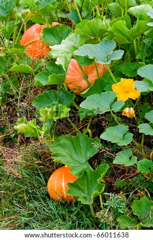 Growing pumpkins in a field - stock photo