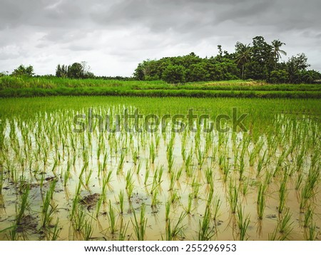 growing rice in the paddy field - stock photo