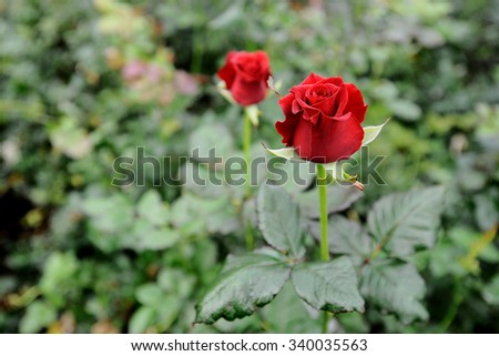 growing roses in a greenhouse - stock photo