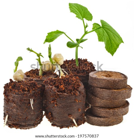 Growing seedlings in peat pressed tablet pot isolated on white background - stock photo