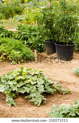 Growing squash in organic vegetable garden. - stock photo