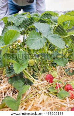 Growing strawberries, home grown fruit and vegetable garden. - stock photo