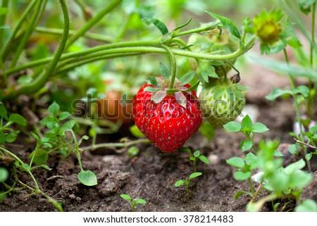 growing strawberry - stock photo