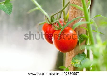 growing tomatoes, shallow deep of field, selective focus - stock photo