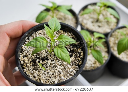 Growing vegetable plant, green seedling, background - stock photo