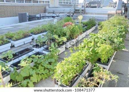 Growing vegetables in rooftop garden of city building - stock photo
