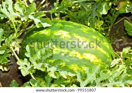 Growing watermelon on the field - stock photo
