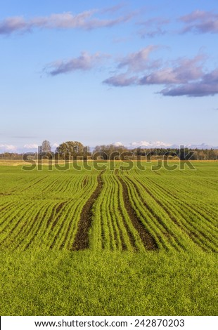 Growing wheat. - stock photo