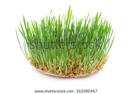 Growing wheat on white background - stock photo