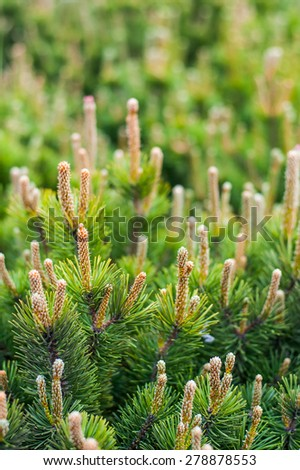 Growing young spring pine branch resinous fresh sprouts - stock photo