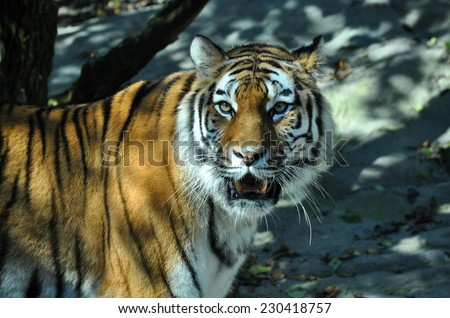 Growling Siberian tiger at the Zoo of Zurich - stock photo